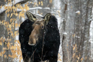 moose_winter